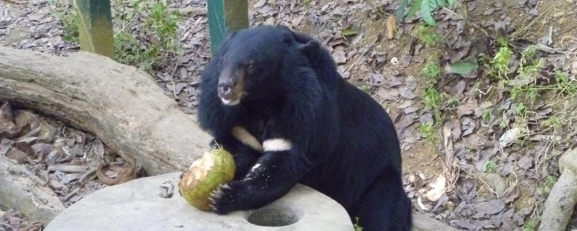 Bear enjoying husking a coconut for enrichment