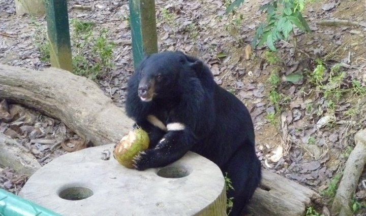 Bear enjoying husking a coconut for enrichment