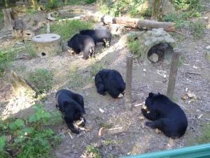Bears at the Laos sanctuary