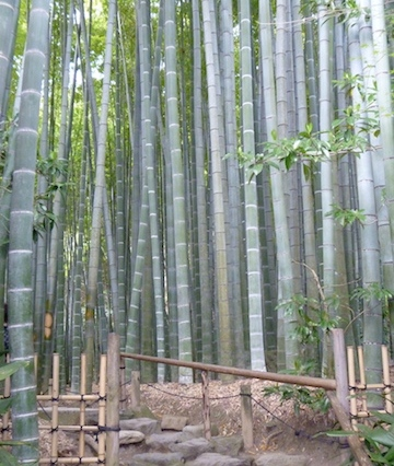Bamboo Forest at Hokokuji Temple
