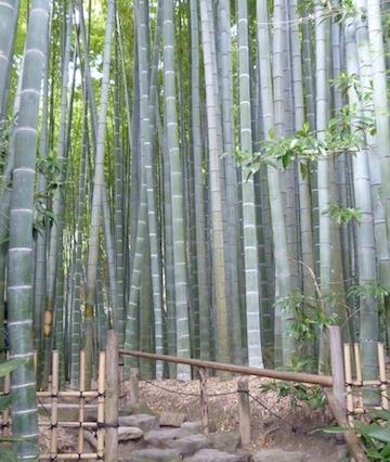 Bamboo Forest at Hokokuji Temple