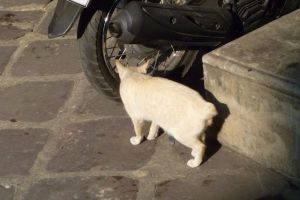 Stumpy tailed cat (common in Asia), this one in Bangkok