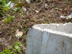 Lizard on some polystyrene rubbish