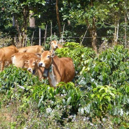 Cows in a Coffee Plantation in Laos