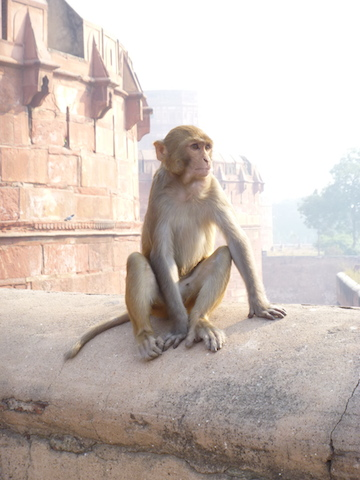Monkey at the Red Fort