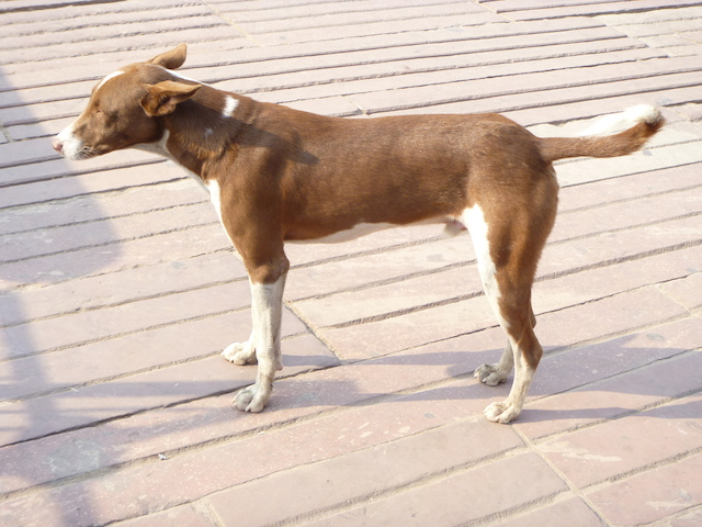 Dog near the Red Fort