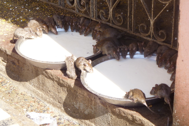 Rats at the Karni Mata (Rat Temple)