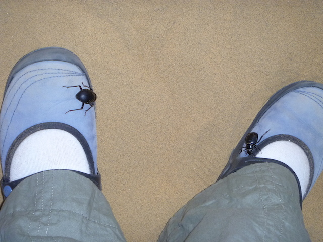 These enormous beetles in the desert seemed to like my shoes