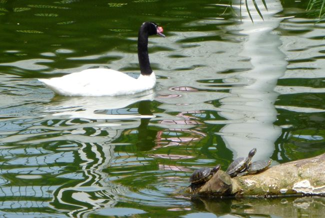 There are a large number of ducks, swans and other water fowl in the park.  Mum got particularly excited about this Black-necked Swan as she's never seen one in person before.