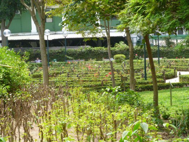A rose garden
