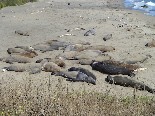 San Simeon Elephant Seal Colony