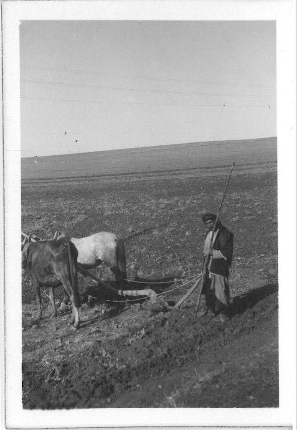 Native Team Horse & Cow