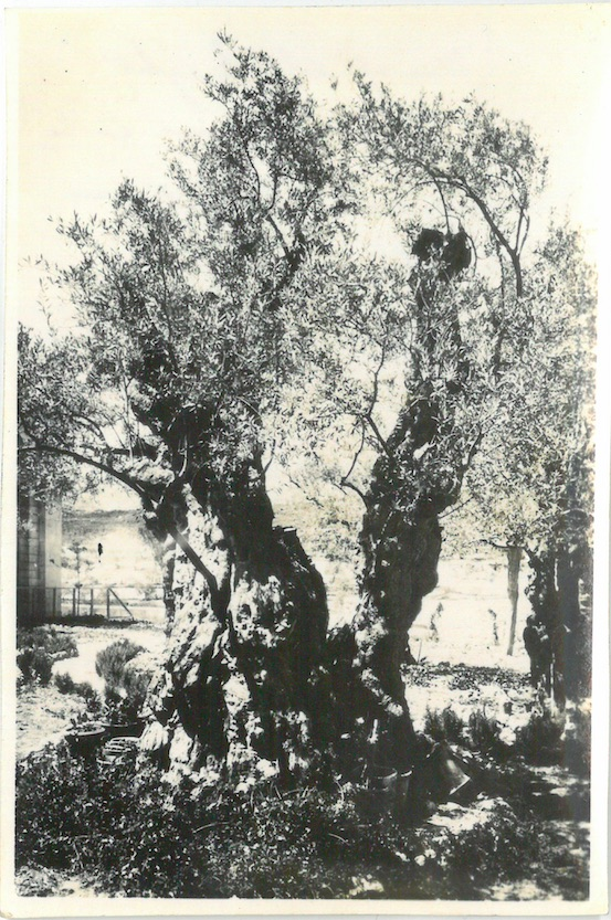 One of the Eight Olive Trees believed to be growing when Christ was on Earth - Jerusalem