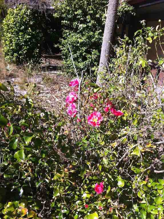 A rose bush struggling to survive