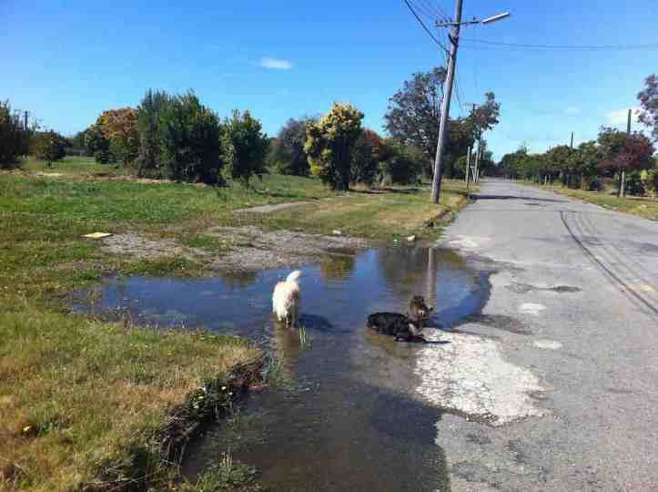 Dogs taking a drink from a puddle