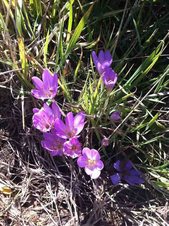 One place had clumps of these Autumn Crocuses