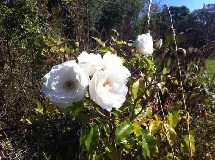 Pretty white roses