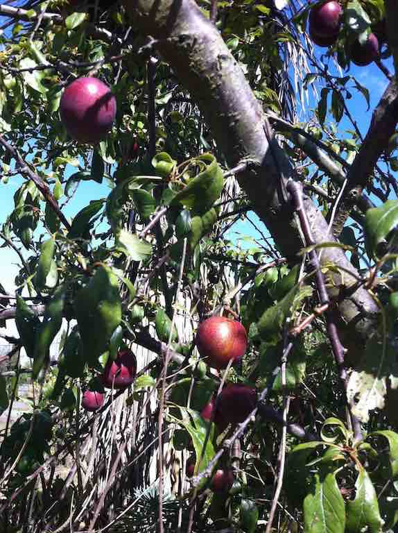 Juicy, juicy plums for the taking