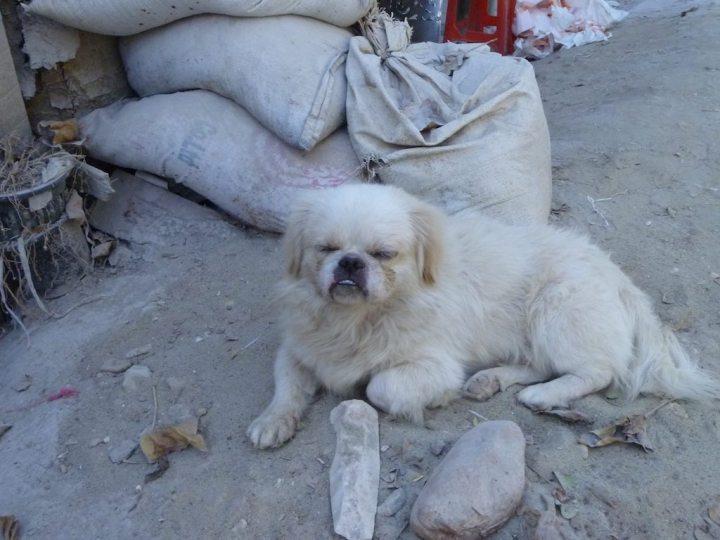 Myanmar Dog