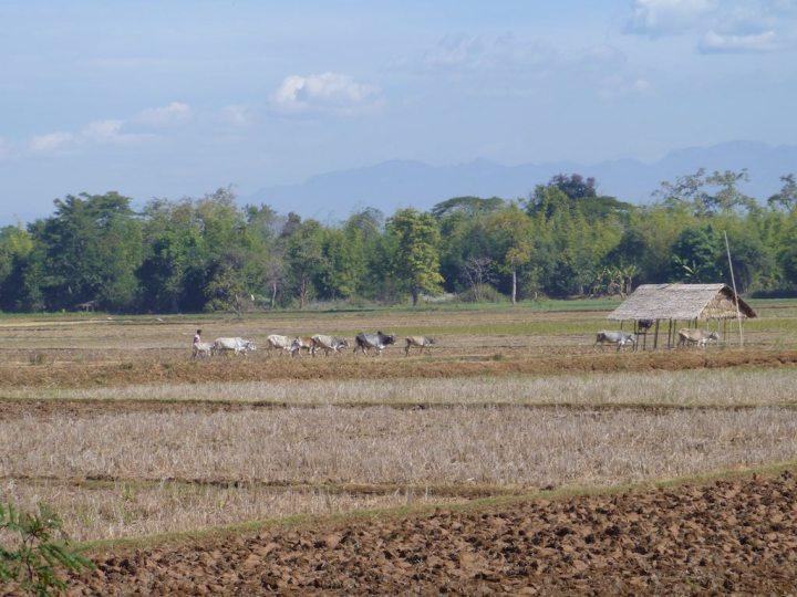 Tending the herd of cows
