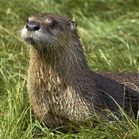 River Otter - photo credit animals.nationalgeographic.com